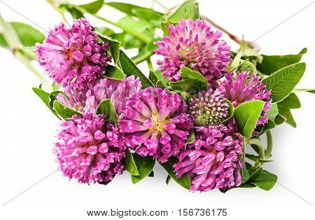 Closeup bouquet of clover flowers with green leaves isolated on white background