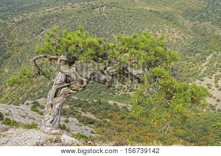 Relict pine on a mountainside. Crimea, September.