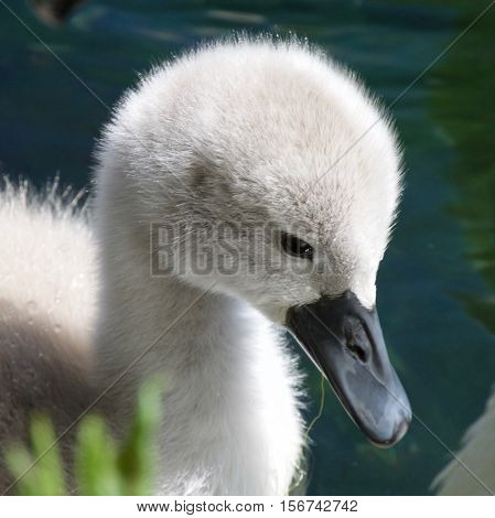 Young Swan - Cygnet-  taken at the Mere near Scarborough not an Ugly Duckling!