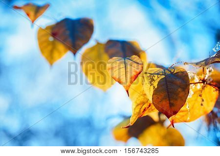 Beautiful close up with colorful yellow red autumn fall leaves on tree branches on blue sky background fall season card wallpaper textured background copyspace for text
