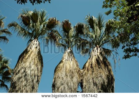Palm Tree Tops 149