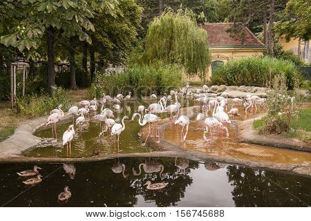 Vienna / Austria - July 22nd 2014: photo of a flamingo (Phoenicopterus) colony at Vienna Zoo