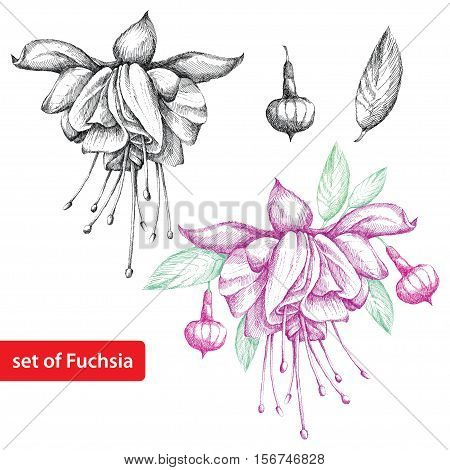 Vector set with hatching Fuchsia flower, leaves and buds in black and in color isolated on white background. Floral elements in sketch style for summer design.