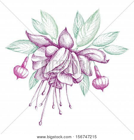 Vector sketch of Fuchsia flower in purple, green leaves and buds isolated on white background. Round composition with hatching floral elements for summer design.