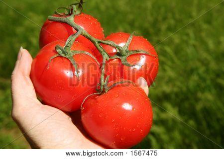 Garden Fresh Tomotoes