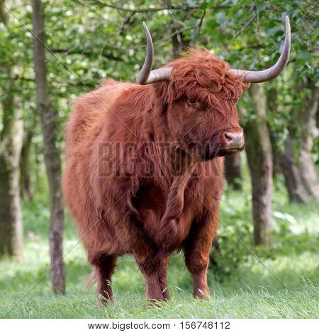 an highland cattle on nature park the Luysen