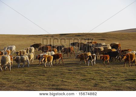 Cattle Herd