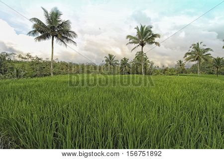 Wondeful green paddy fields in Bali , Indonesia
