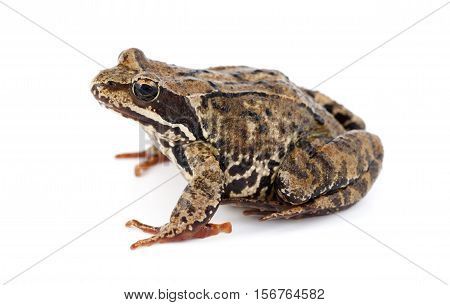 big brown frog ( Rana temporaria) on white background