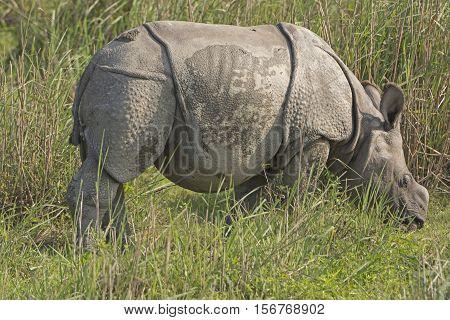 Baby Indian Rhino in the Grassland in Karizanga National Park in India