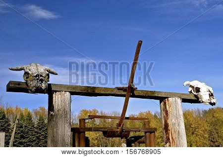 Skulls of  beef animals displayed on a rural fencepost and loading chute