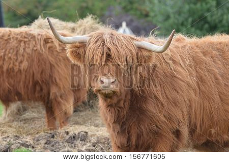 Highland cattle with an adorable face on a Scotland farm.