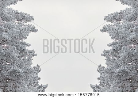Pine branches under the snow on a white background Pine branches and white background tree branches on both sides