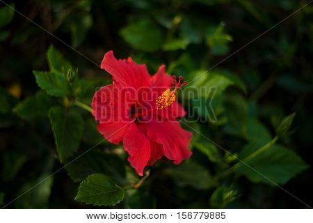 A beautiful red hibiscus flower with a blurry green background of leaves.