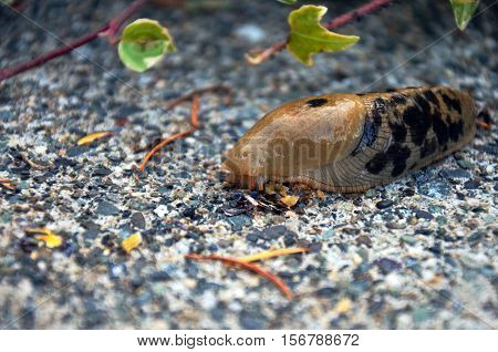 A close up image of a brown slug with black spots crawling on a concrete walkway.