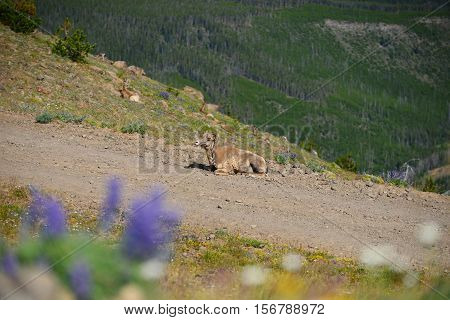 Big Horn Sheep Has Only One Horn In Mount Washburn Hiking Trail, Yellowstone National Park Wy