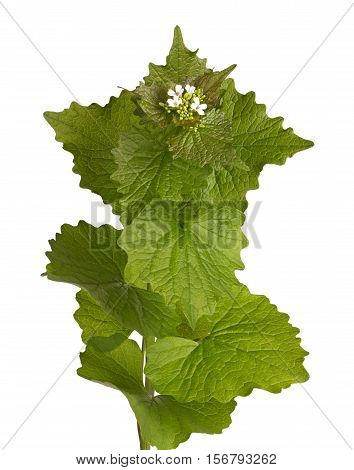 Leafy green stem and white flowers of the biennial weed garlic mustard (Alliaria petiolata) in the family Brassicaceae isolated against a white background