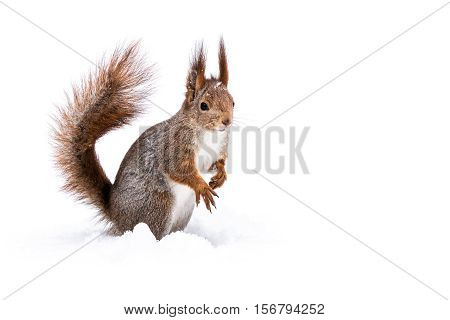 Funny Little Squirrel Sitting On Snow
