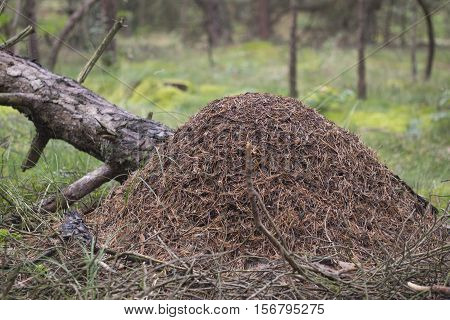 Red wood ant anthill - Formica rufa