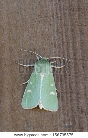 Burren Green - Calamia tridens, close up nature photo