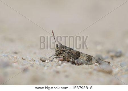 Blue-winged grasshopper - Oedipoda caerulescens, close up nature photo