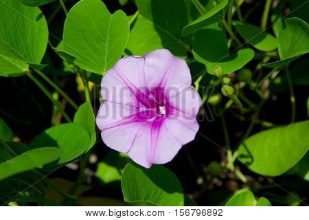A pink purple flower with a green foliage background.
