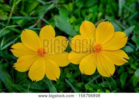 Two yellow flowers with a green grass background.