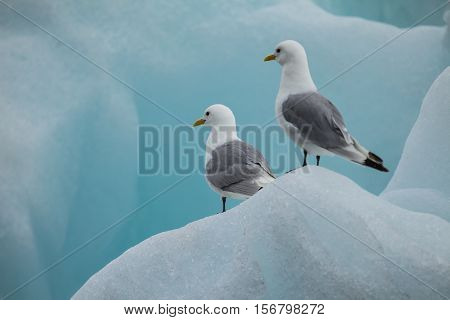 seagull on ice in the arctic for background