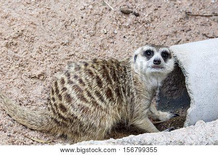 Meerkat With Nature