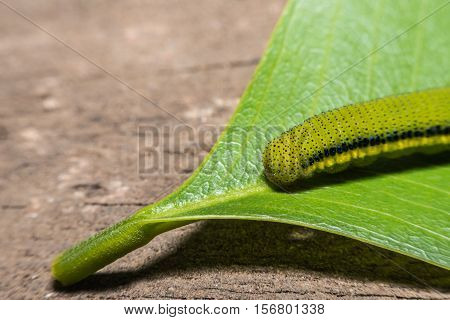 Macro View Lemon Emigrant caterpilla in Thailnad