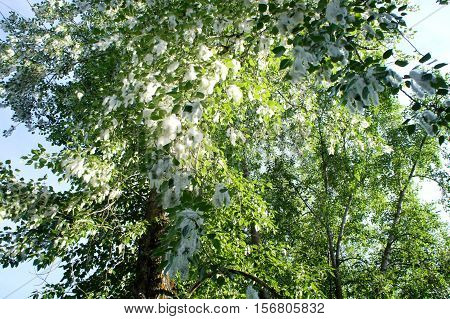 Poplar fluff on the trees in the summer