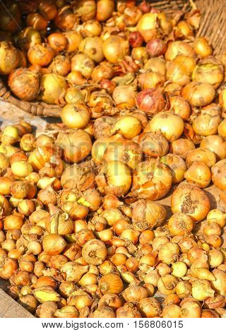 small onion seed close up photo drying under the sun