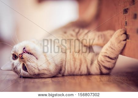 European Cat In Front On A White Background