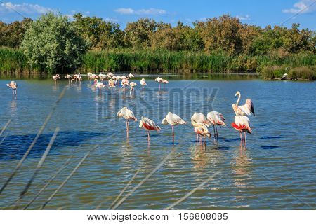 Evening light in the National Park of the Camargue, Provence, France. Large flock of pink flamingos arranged to sleep