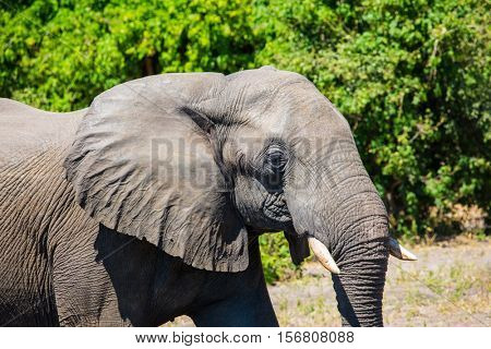 Elephant - single. The concept of exotic tourism. Journey to Africa. Watering large animals in the Okavango Delta, Chobe National Park