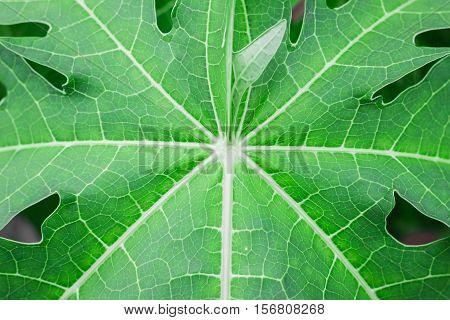 Background the green papaya leaves. Pattern green papaya leaf.