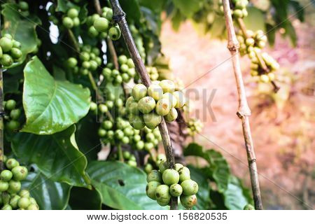 Green coffee bean on a coffee tree