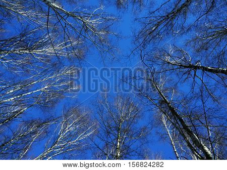 Winter nature, blue sky and big trees