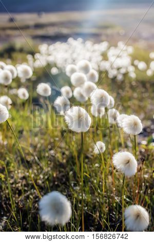 Cottongrass is a plant blooming in summer, tundra