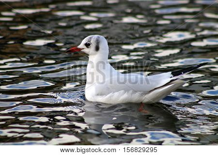 A Black Headed gull it winter plumage