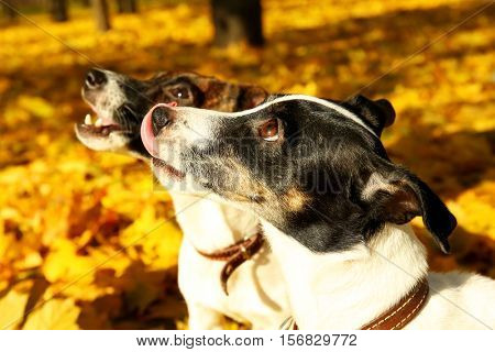 Funny Jack Russell terriers in beautiful autumn park, close up