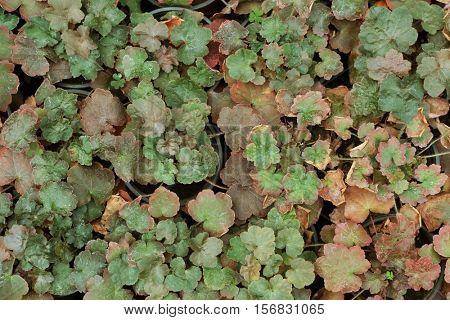 Close up view of geranium in flowerpots