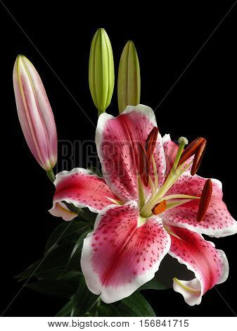 Beautiful Pink Lilly bouquet isolated black background