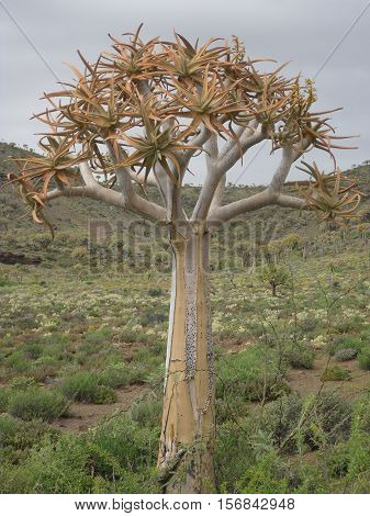 A young Quiver tree in the Quiver tree 'forest' in the Northern Cape region of South Africa