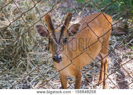 Indian muntjac in cage,Deer wait for food in cage