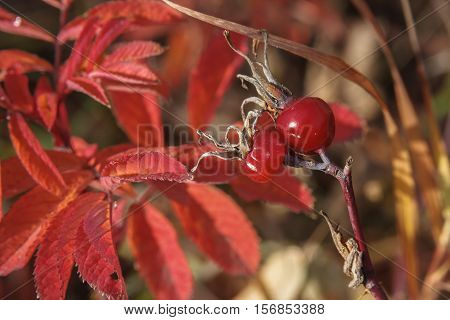 Red briar foetuses on a background of red leaves