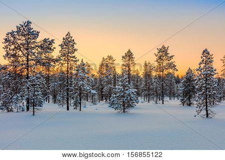 Winter forest at sundown tine, pine trees and snow - beautiful winter season landscape