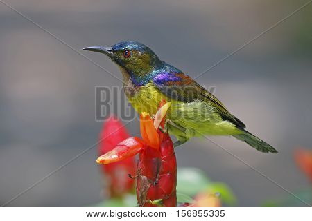 Brown-throated Sunbird Anthreptes malacensis Male Birds of Thailand