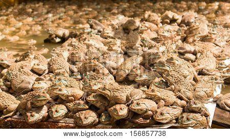 Frog Farm In Pond ,amphibian animal nature