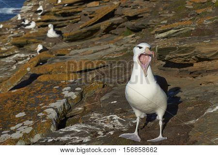 Black-browed Albatross (Thalassarche melanophrys) calling on the cliffs of Saunders Island in the Falkland Islands.